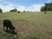 Maria, Roger: ha parido la vaca!!!!